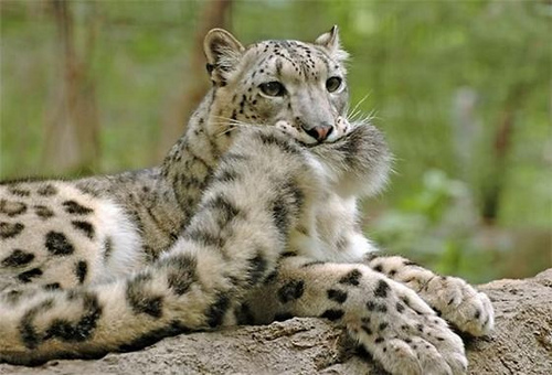 leopard-holds-tail