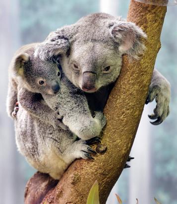 ap_baby_koala_100507_ssv